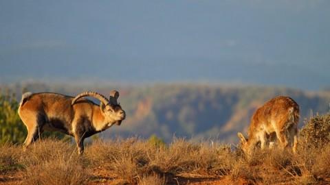 Fotografía la cabra montés en Sierra Nevada