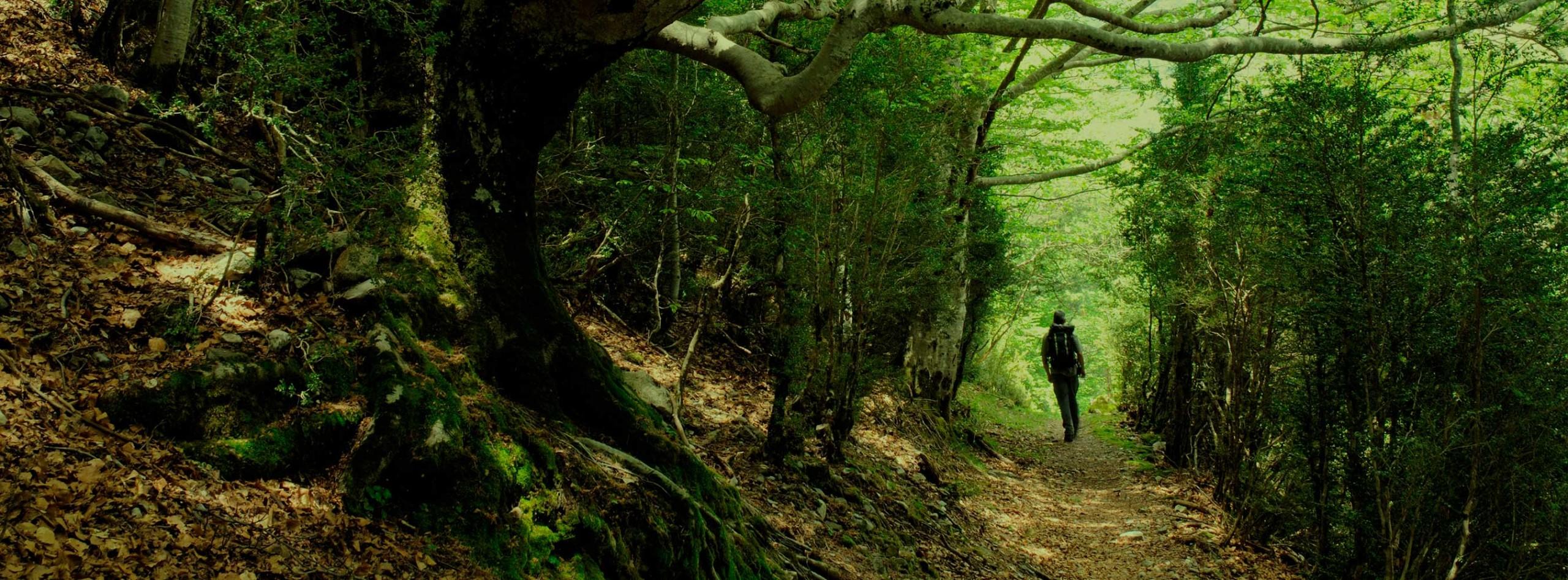 senderista caminando por bosque frondoso