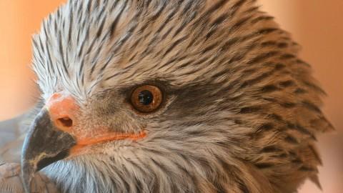 Participa en la conservación del águila imperial ibérica
