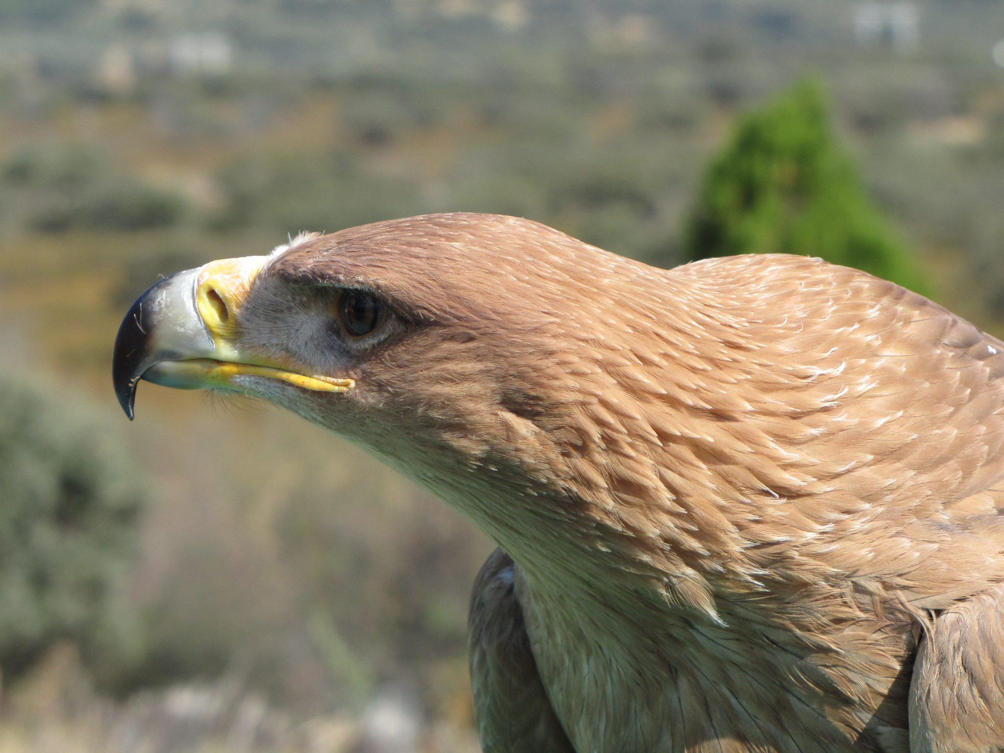 ayuda a conservar el águila imperial ibérica con esta experiencia de ecoturismo que querrás vivir al menos una vez en la vida