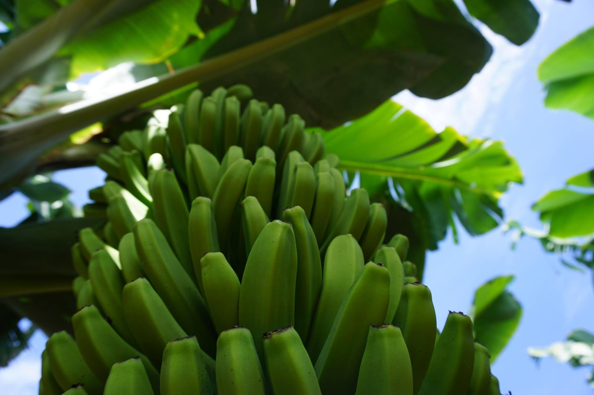 sumérgete en los cultivos ecológicos de La Palma con esta experiencia que querrás vivir al menos una vez en la vida