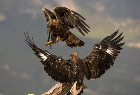 Observación del Águila Real desde un hide con Photo Logistics