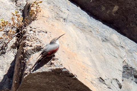 Tour de aves alpinas con Senderos Ordesa