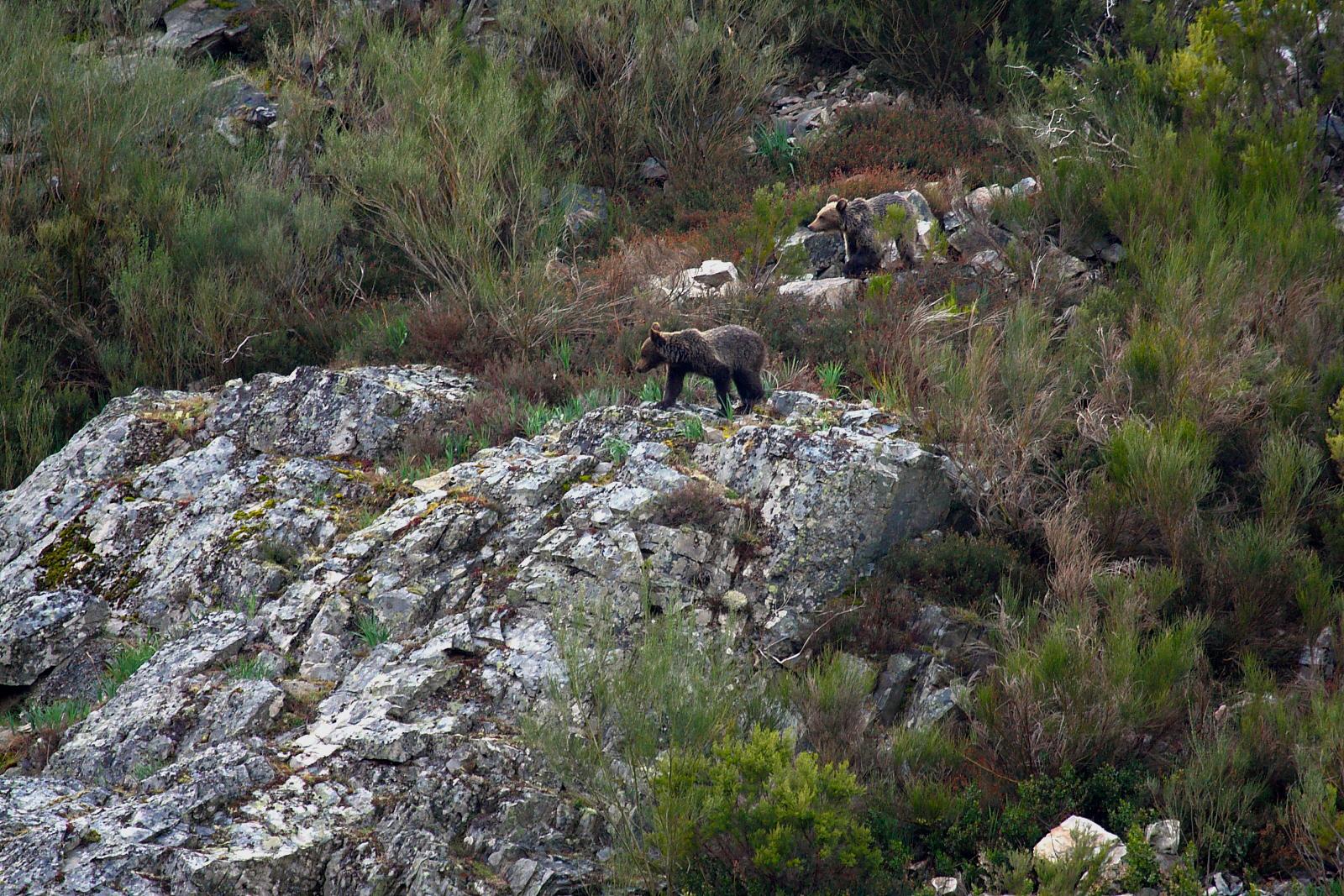 avistamiento oso pardo experiencia ecoturismo