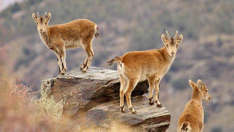 Fotografía a la cabra montés en Sierra Nevada con Natureda